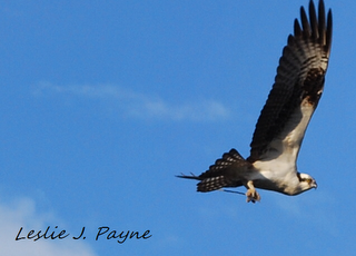 Living Life with Abandon as an Osprey Stares